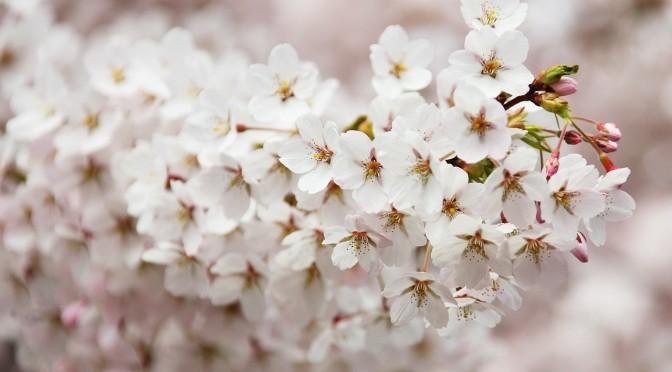 Ausgelassene Feiern unter den blühenden Bäumen – was ist zu Hanami Brauch
