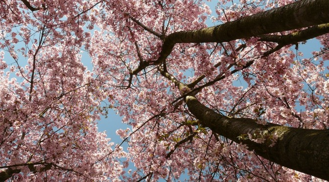 Japanisches Kirschblütenfest – abwechslungsreiche Events im ganzen Land