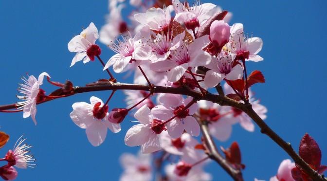 Der Beginn eines neuen Jahres – das traditionelle Kirschblütenfest