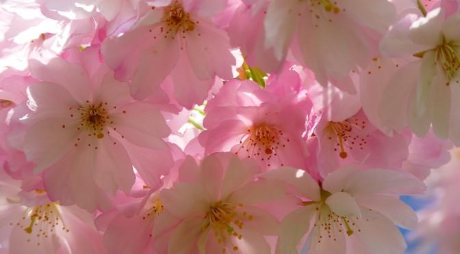 Das japanische Hanami – Ein Fest zu Ehren der Schönheit der Blüte