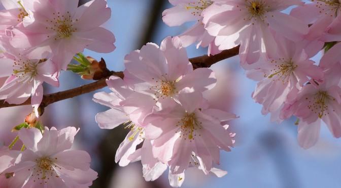 Das japanische Kirschblütenfest wird auch in Deutschland gefeiert